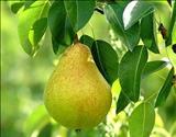 خواص داروییگلابی pear