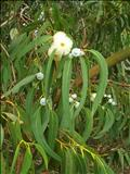 خواص داروییاوکالیپتوس eucalyptus