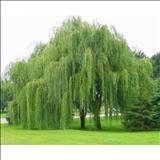 خواص داروییبید willow