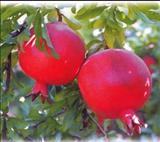 خواص داروییانار pomegranate