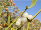 خواص داروییدارواش،واش،بورگ آغاجی mistletoe
