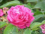 خواص داروییگل محمدی rose damascena