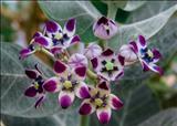 خواص داروییاستبرق milkweed