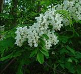 خواص داروییاقاقیا acacia