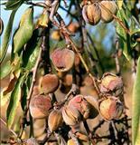 همه چیز درباره بادام تلخ bitter almond kernel