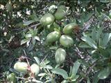 خواص داروییبخورک willd almond kernel