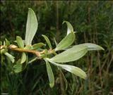 خواص داروییبید خشت willow mann