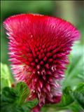 خواص داروییگل یوسف،گل تاج خروس cocks comb seed