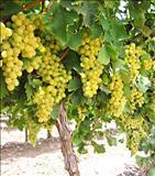 همه چیز درباره انگور grape vine