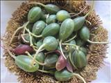 خواص داروییحنظل(هندوانه ابوجهل) small caltrops