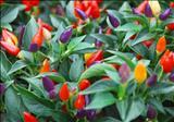 خواص داروییفلفل زینتی forest pepper