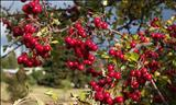 خواص داروییسرخ ولیک hawthonTmay bush