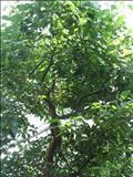 خواص داروییکافور lauraceae