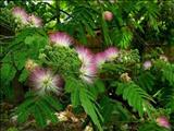 خواص دارویی درخت گل ابریشم