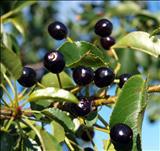 خواص داروییآلبالو تلخ mahalab cherry