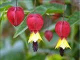 خواص داروییپتارمیک گیاه عطسه achillea ptarmica