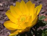 خواص داروییآدونیس بهاره spring adonis
