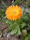 خواص داروییهمیشه بهار calendula persica