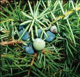 خواص داروییپیرو common juniper