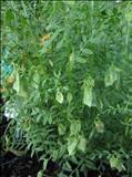 خواص داروییعدس lentil