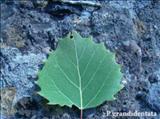 خواص داروییشالک black poplar
