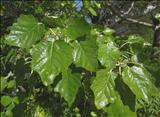 خواص داروییصنوبر populus alba
