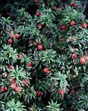 خواص داروییسرخدار common yew