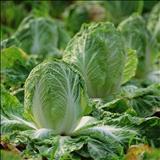 خواص داروییکاهو lettuce
