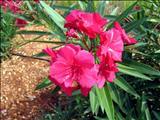 خواص داروییخرزهره oleander