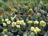 خواص داروییکاکتوس cactus