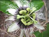 خواص داروییگندنای کوهی marrubium vulgare