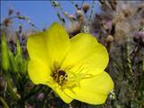 خواص داروییگل مغربی evening primrose