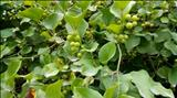 خواص داروییآش انگور buckthorn potagevine