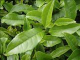 خواص داروییچای سبز green tea