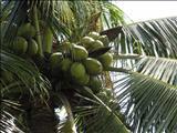 خواص دارویینارگیل coconut