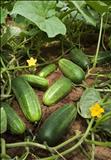 خواص داروییخیار cucumber