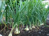 خواص داروییپیاز onion