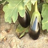 خواص داروییبادمجان eggplant