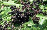 خواص داروییآقطی سیاه elderberry