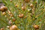 خواص داروییتخم کتان flax seed
