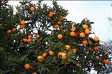 همه چیز درباره پرتقال