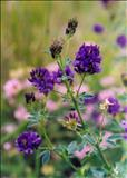 خواص دارویییونجه alfalfa