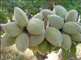 خواص داروییبادام almond