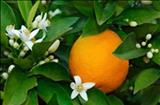 خواص داروییشربت پرتقال