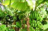 خواص داروییموز banana