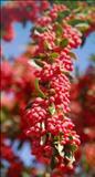 خواص داروییزرشک barberry