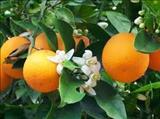همه چیز درباره نارنج