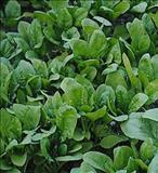 خواص داروییاسفناج spinach