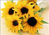 خواص داروییآفتاب گردان sun flower
