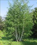 خواص داروییتوس(غان) white birch